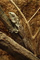 Lizards Alive - Fernbank Museum - Atlanta - Flickr - hyku (6).jpg