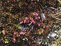 Loiseleuria procumbens greplyng Blefjell IMG 1570.jpg