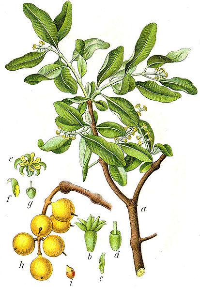 Imelovec európsky - ker rastúci na stromoch