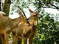 Loving Deers.jpg
