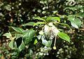 Luma apiculata kz1.jpg