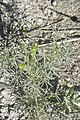 Lupinus angustifolius-2054.jpg