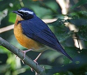Indian blue robin - Male in winter