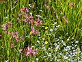 Lychnis flos-cuculi20090612 052.jpg