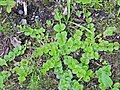 Lysimachia nummularia 131794630.jpg