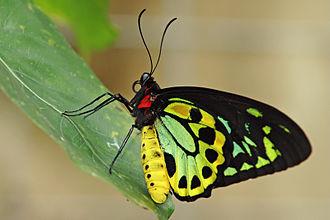 Pararistolochia - The Cairns birdwing feeds on several species of Paraistolochia