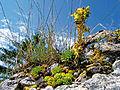 Małe Pieniny – rojnik włochaty (Jovibarba preissiana).jpg