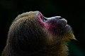 Macaca arctoides, Stump-tailed macaque - Kaeng Krachan National Park (30964945026).jpg