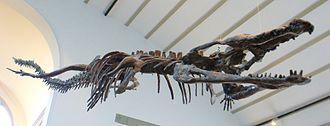 Machimosaurus - Machimosaurus sp. fossil