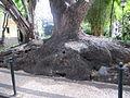 Madeira em Abril de 2011 IMG 1740 (5663761706).jpg