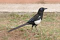 Maghreb magpie (Pica mauritanica).jpg