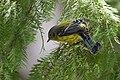 Magnolia Warbler (37773214842).jpg