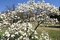 Magnolia stellata Royal Star 3zz.jpg