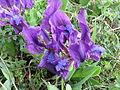 Magyar nőszirom 2 (Iris aphylla).jpg