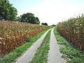 Maisfelder bei Rheinsheim - geo.hlipp.de - 27019.jpg