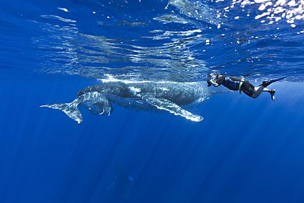 Humpback whales of Tonga Majestic Whale Encounters8 - pic by Brandon Cole (15799763491).jpg