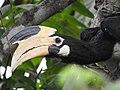 Malabar Pied Hornbill from Sindhudurg District Maharashtra DSCN0241 01.jpg