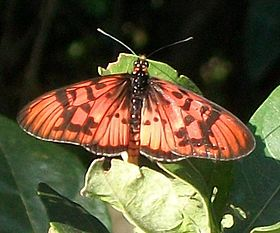 Male Blood-red Acraea Pigeon Valley.JPG