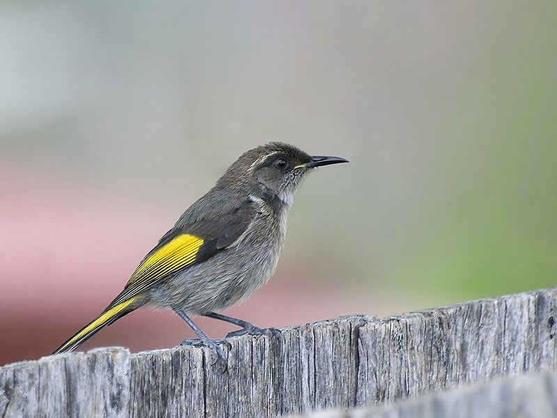 The Crescent Honeyeater