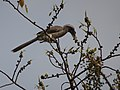 Male Indian Grey Hornbill Eating Figs 03.jpg