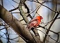 Male Northern Cardinal in Tree.jpg