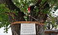 Malik, die mystische Figur im hundertjährigen Maulbeerbaum in Crikvenica, Kroatien.jpg
