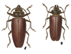 Mallodonopsis mexicanus.png