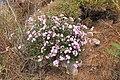 Malta - Mellieha - Triq Mellieha - Rdum mic-Cirkewwa sa Benghisa - Convolvulus althaeoides 02 ies.jpg