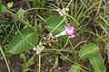 Mandevilla callista (Apocynaceae) (45001646145).jpg
