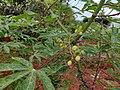 Manihot esculenta cassava flower vijayanrajapuram.jpg