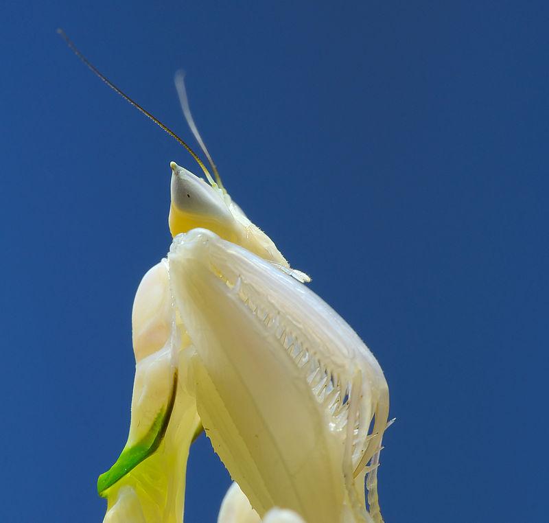 Bộ sưu tập Côn trùng - Page 5 800px-Mantis_Hymenopus_coronatus_1_Luc_Viatour