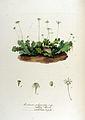 Marchantia polymorpha — Flora Batava — Volume v12.jpg
