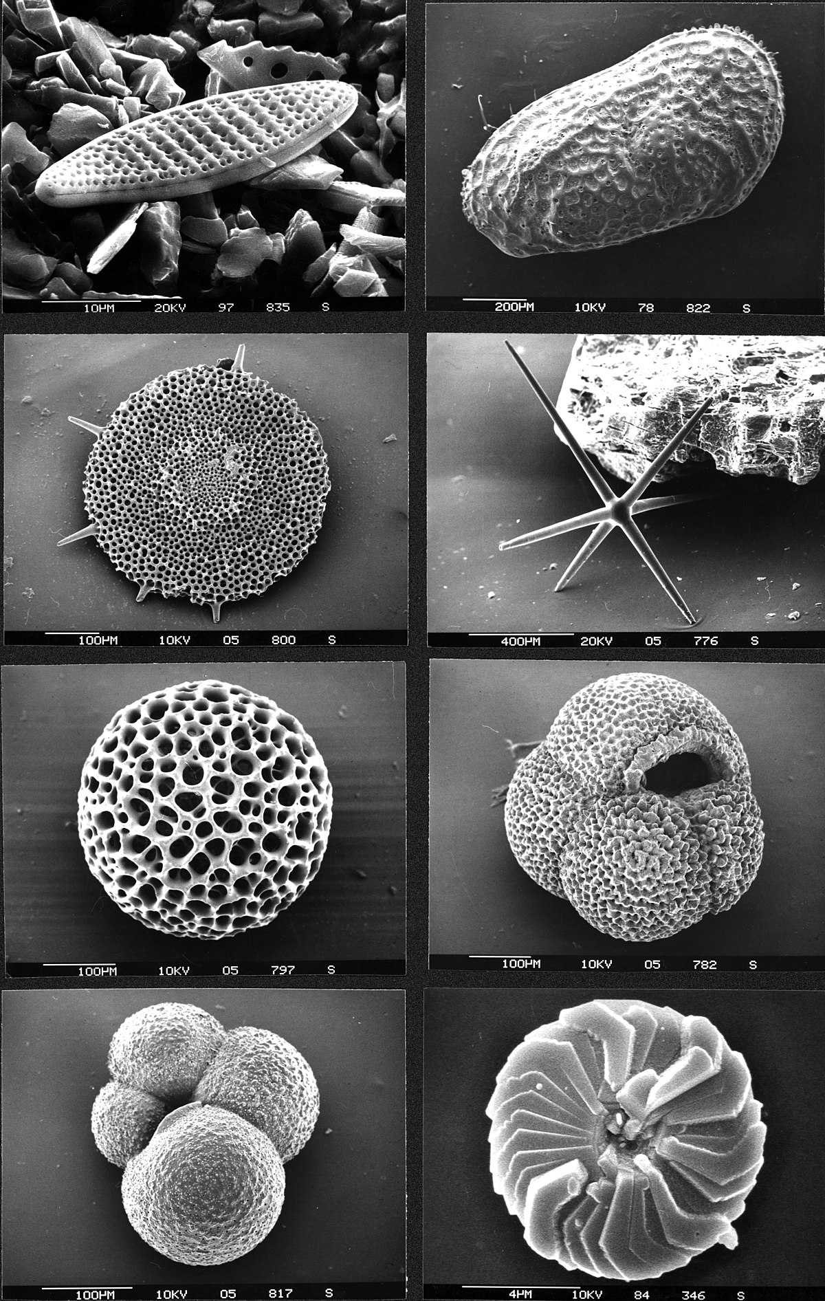 Micropaleontology - Simple English Wikipedia, the free ...