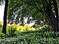 Marlenes Bärlauchplantage - panoramio.jpg