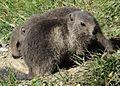 Marmottes en Vanoise (15).JPG