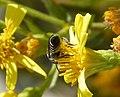 Megachilidae (33009006396).jpg