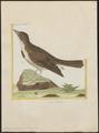 Melanocorypha calandra - 1700-1880 - Print - Iconographia Zoologica - Special Collections University of Amsterdam - UBA01 IZ16100349.tif