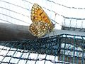 Melitaea athalia 02.jpg