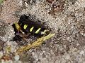 Mellinus arvensis (Crabronidae) - Kotwespe (10797643983).jpg