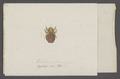 Melophagus - Print - Iconographia Zoologica - Special Collections University of Amsterdam - UBAINV0274 039 08 0015.tif