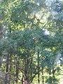 Metasequoia glyptostroboides 3zz.jpg