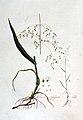 Milium effusum — Flora Batava — Volume v3.jpg