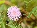 Mimosa Pudica Flower Sirudavoor Jan21 D72 19650.jpg