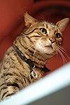 Moca the Cat café cat