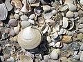 Mollusc shells on marine beach (Cayo Costa Island, Florida, USA) 5 (24219418732).jpg