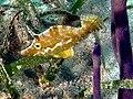 Monocanthus tuckeri (Slender filefish) Haiti.jpg