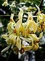 Moringa oleifera 1.jpg