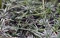 Morning dew on San Diego button-celery flowers (35182061125).jpg