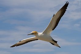 Morus serrator -New Zealand -flying-8.jpg