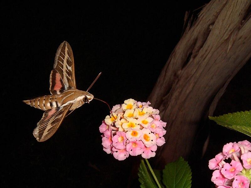 File:Moth feeding on lantana flower.jpeg